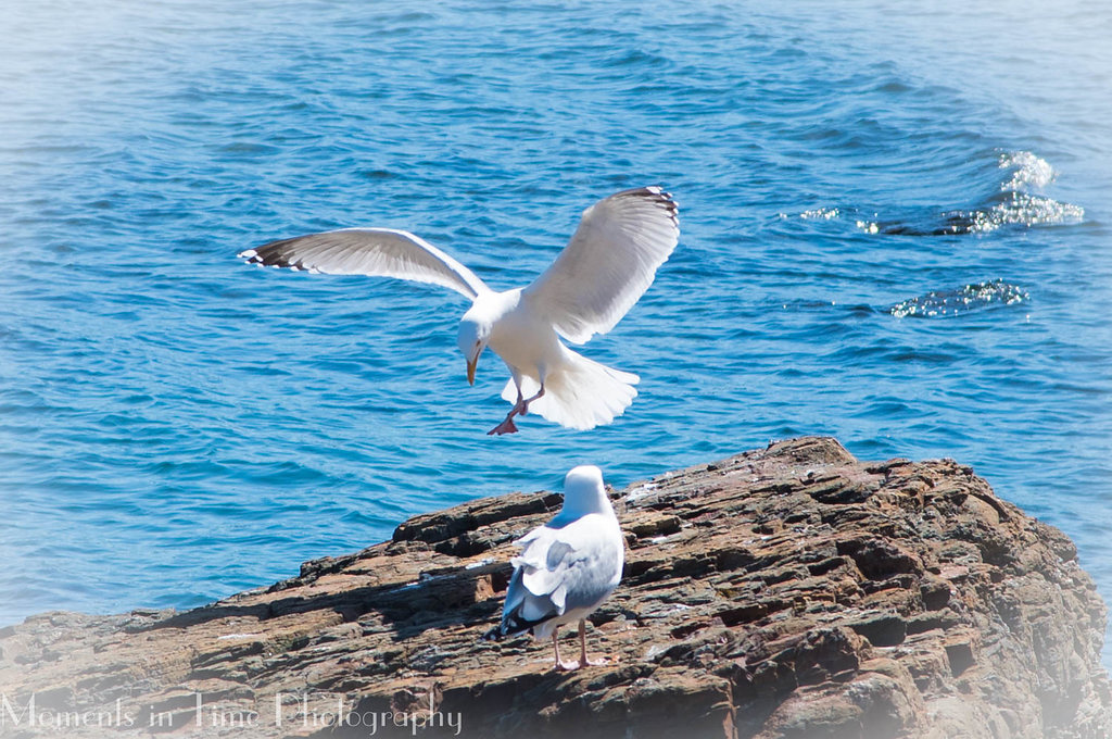 Sea Gulls Bar Harbor